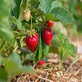 Quinalt Everbearing 10 Live Strawberry Plants, NON GMO, Photo, best price $13.95 new 2019