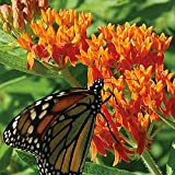 100 Butterfly Milkweed/Monarch Flower Seeds (Asclepias Tuberosa) Photo, best price $1.77 new 2019