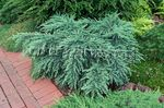Photo Weeping deodar, Deodar Cedar, Himalayan Cedar, light blue