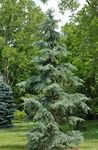 Photo Weeping deodar, Deodar Cedar, Himalayan Cedar, green