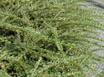 Photo Cotoneaster horizontalis, green