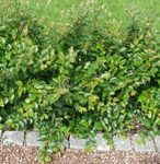 Photo Hedge Cotoneaster, European Cotoneaster, green