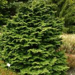 Photo Atlantic White Cedar, Hinoki False Cypress, green