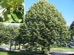 Photo Common Lime, Linden Tree, Basswood, Lime Blossom, Silver Linden, green