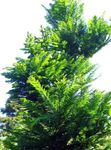 Photo Dawn redwood, green