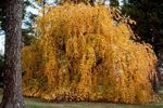 Photo Katsura Tree, yellow