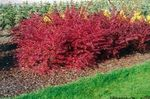 Photo Barberry, Japanese Barberry, red