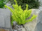 Photo Barberry, Japanese Barberry, yellow