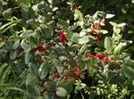 Photo Silver Buffalo Berry, , Foamberry Soapberry, Soopalollie, Canadian Buffaloberry, green