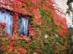 Photo Boston ivy, Virginia Creeper, Woodbine, red