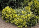 Photo Euonymus, yellow