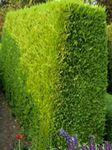 Photo Leyland cypress, yellow