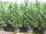Photo Leyland cypress, light blue