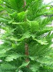 Photo Bald Cypress, light green