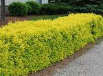 Photo Privet, Golden privet, yellow