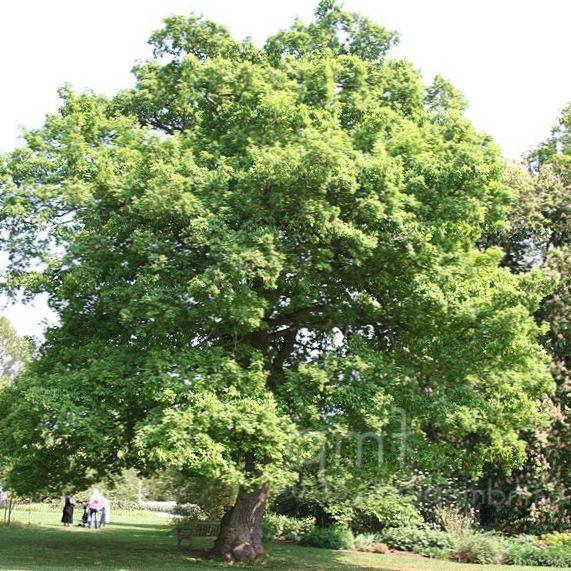 Foto roble verde for Arbustos de hoja caduca