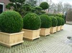 Photo Boxwood, dark green