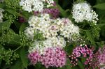Photo Bridal's Veil, Spiraea, Steeplebush, white