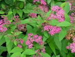 Morsiamen Huntu, Spiraea, Torni Bush