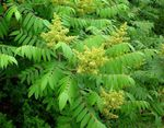 Photo Smooth Sumac, green