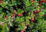 Photo Bearberry, Kinnikinnick, Manzanita, dearg