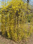 Photo Forsythia, yellow