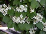 Photo Photinia, white