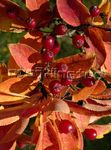 Photo Photinia, orange
