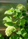 Photo Smooth Hydrangea, Wild Hydrangea, Sevenbark, green