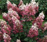 Photo Panicle Hydrangea, Tree Hydrangea, pink