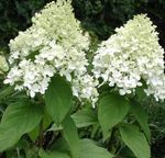 Photo Panicle Hydrangea, Tree Hydrangea, white
