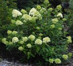 Photo Panicle Hydrangea, Tree Hydrangea, green