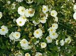 Photo Rock rose, Sun Rose, white