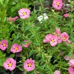 Photo Rock rose, Sun Rose, pink