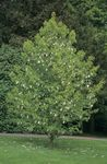 Photo Dove tree, Ghost tree, Handkerchief tree, white