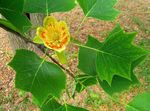 Photo Tulip tree, Yellow Poplar, Tulip Magnolia, Whitewood, yellow