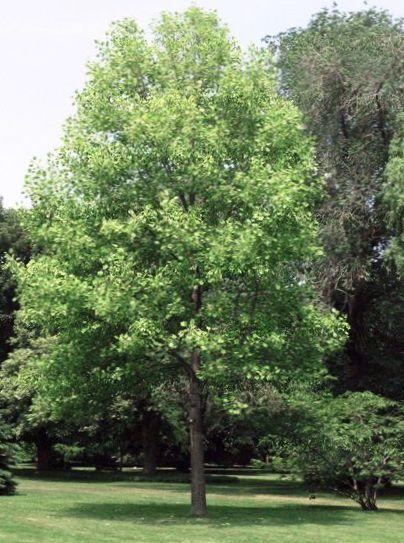 foto tulpenbaum gelbe pappel tulpe magnolie whitewood gelb. Black Bedroom Furniture Sets. Home Design Ideas