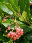 Photo Strawberry Tree, pink