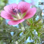 Photo Cape Mallow, pink