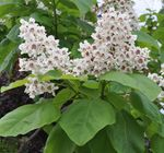 Southern catalpa, Catawba, Indian bean tree