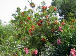 Photo Bottlebrush, red