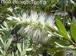 Photo Bottlebrush, white