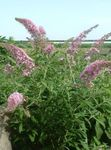 Photo Butterfly Bush, Summer Lilac, pink
