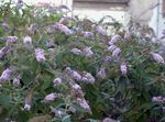 Photo Butterfly Bush, Summer Lilac, lilac
