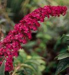 Photo Butterfly Bush, Summer Lilac, red