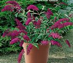 Photo Butterfly Bush, Summer Lilac, burgundy