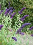 Photo Butterfly Bush, Summer Lilac, dark blue