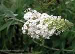 Photo Butterfly Bush, Summer Lilac, white