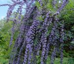 Photo Butterfly Bush, Summer Lilac, light blue