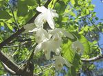 Photo Silverbell, Snowdrop tree, , white